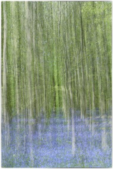 jacinthes des bois
